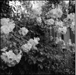 A black and white photo of a flower bush